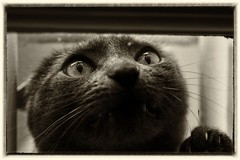 Please, let me in ! (zoulex69) Tags: cat close bw eyes pets littledoglaughednoiret