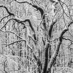 winter in Bochum (marinachi) Tags: white winter bw trees woods forest snow cold sundaylights blackwhite cof046cott cof046dmnq cof046dero cof046cg
