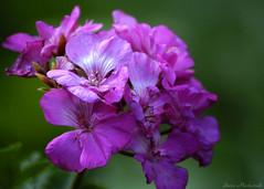 Springtime Thoughts_3126 (smack53) Tags: smack53 flowers plants blossoms garden bouquet nikon d100 nikond100 closeup