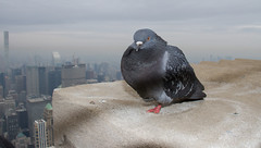 Empire State Pigeons (snapp3r) Tags: feralpigeon newyork