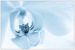 Orchid (EddieAC) Tags: monochrome orchid flower macromondays