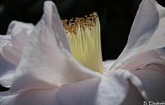 White Camellia (Barbara.Elizabeth) Tags: