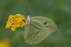 Gonepteryx sp (Rui Pará) Tags: nature natureza abaetetuba pará brazil amazon borboleta butterfly felicidade beleza beauty bug bugs macro macrophotography