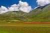 Castelluccio di Norcia, fioritura al Pian Grande (Marte Visani) Tags: castellucciodinorcia fiori primavera