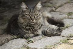 Street cat (mara.arantes) Tags: cat pet kitty animals portrait street natreza naturaleza retrato gato gatto rua