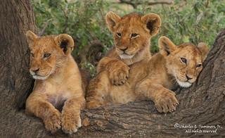 Three Lion cub siblings 0R7E6651