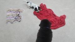21430137_10213813940409641_7251226899473199214_n (natedetienne) Tags: ash tibetan mastiff puppy tm