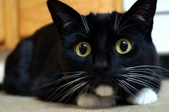 Happy World Cat Day ( Feb 17 2018) (Captions by Nica... (Fieger Photography)) Tags: toby cat catmoments catportrait catseyes pet portrait animal indoor eyes feline whiskers paws quebec canada