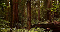 Density (Dylan H, from the road) Tags: northamerica california lostcoast redwoods forest trees dense density ferns color texture landscape