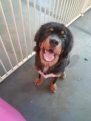 26230322_2027193594228181_5826201150844155680_n (natedetienne) Tags: ash tibetan mastiff puppy tm