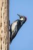 It's A Dirty Job (gseloff) Tags: acornwoodpecker bird drumming nature wildlife animal utilitypole davismountainsstatepark fortdavis jeffdaviscounty texas gseloff