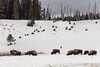 Bison grazing near Beach Spring and Mary Bay (YellowstoneNPS) Tags: beachsprings jacobwfrank ynp yellowstone yellowstonenationalpark bison snow winter