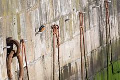 Ramsgate Harbour Kingfisher (DGooding89) Tags: coastal kingfisher ramsgate harbour orange blue bird