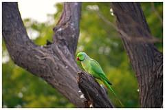 2018-02-18_05-09-11 (Vishwender786) Tags: parrot green tree evening d5300 70300mm nikon forest