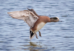 American Wigeon (tresed47) Tags: 2018 201801jan 20180131eastmarylandbirds birds cambridge canon7d content ducks folder maryland pennsylvania peterscamera petersphotos places season takenby us widgeon winter