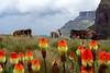 Lesotho... (-LoraN-) Tags: fleur rouge jaune lesotho chevaux plateau hauteur voyage couleur canon