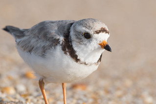 Piping Plover close up