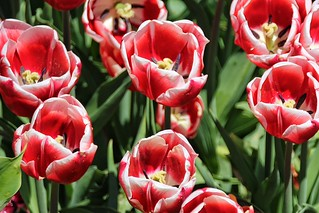 Orillia Ontario -  Canada - Leacock Museum ~ Botanical Gardens - Tulips -