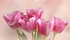 Pink Beauties (Through Serena's Lens) Tags: lifeisarainbow pinkbeauties indoor stilllife tulips pink 7dwf flora
