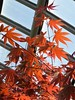 Chicago, Garfield Park Conservatory, Annual Spring Flower Show, Japanese Maple Tree Leaves (Mary Warren 10.1+ Million Views) Tags: chicago garfieldparkconservatory nature flora plant leaves foliage tree japanesemaple red
