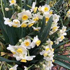 Smiling after the Rain (Melinda Stuart) Tags: jonquil bulb bloom spring yellow face garden sidewalk walk berkeley ca march daffodil narcissus