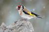 Kitchen shot! (DorianHunt) Tags: birds snow backyard bokeh goldfinch servion march 2018 switzerland nikond500 sigma 150600mm