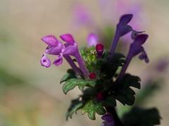 Henbit dead-nettle (Lamium amplexicaule, ホトケノザ) wildflowers (Greg Peterson in Japan) Tags: shiga hayashi plants 栗東市 ritto japan plumblossoms 植物 花 flowers 滋賀県 shigaprefecture