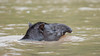 South American Tapir (Tris Enticknap) Tags: southamerica peru southamericantapir manú manúriver nikond750 tapir nikkor300mmf4epfedvrlens manúbiospherereserve manúnationalpark tapirusterrestris tropicalrainforest akalowlandtapir amazonbasin