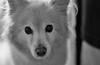 Bear 4 (Robert Borden) Tags: bear love bw monochrome blackandwhite 50mm eyes coldnose santaclarita losangeles la socal california canon canonrebel canonphotography face goodgirl sweet