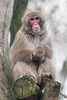 2018-01-12-14h58m21.BL7R8626 (A.J. Haverkamp) Tags: canonef100400mmf4556lisiiusmlens amsterdam noordholland netherlands zoo dierentuin httpwwwartisnl artis thenetherlands japansemakaak japanesemacaque nl