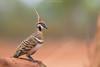Spinifex Pigeon (Cameron de Jong) Tags: pigeon spinifex australia queensland isa desert arid dof explore