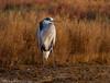 Gray heron @sunset (Jokermanssx) Tags: stagno di santa gilla capoterra cagliari sardegna grayheron aironecenerino