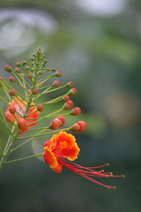 First Bloom (cstreetwalker) Tags: bloom orange beauty nature growth first bud budding