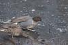 Green-Winged Teal - pair (Frankyboy5) Tags: anascreeca anascarolinensis duck blackiespit crescentbeach surrey