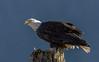 Bald Eagle on a post (nickinthegarden) Tags: americanbaldeagle baldeagle eagle harrisonriver harrisonmillsbccanada