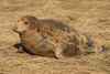 Female minus baby (jpotto) Tags: uk lincolnshire donnanook animal seal