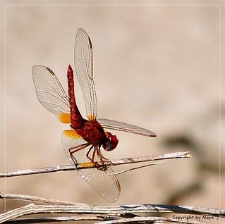 Feuerlibelle (Crocothemis erythraea), männlich, male, macho    , DSC_4362-1
