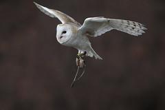 Barn Owl (carlo612001) Tags: owl barnowl barbagianni raptors predators white