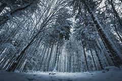Looking up! (dr.rol) Tags: hochwald landschaft schnee winter forest wald trees snow hunsrück saarland