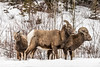 Big Horn Sheep family feeding by the side of the road (deirdre.lyttle) Tags: abrahamlake alberta canada canadianrockies clearwatercounty frozenbubbles glaciallake ice nordegg rockymountains winter big horn feeding family