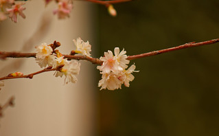 Ceci n'est pas un cerisier du Japon - it's not a Japanese cherry  tree