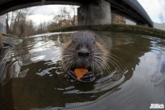 coypu, Nutria @ Leipzig, 2018 (Jan Rillich) Tags: jan rillich janrillich picture photo photography foto fotografie eos digital wildlife animal nature beautiful beauty sunny sun fauna flora free animalphotography leipzig winter snow cold germany canon canon5d 5dmarkiii 2018 urban urbannature nutria sigmafisheyedg15mmf28 sigma15mmf28exdgdiagonalfisheye wideangle weitwinkel funny fisheye fischauge
