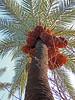 Looking up. (Shahrazad26) Tags: marrakech marokko maroc morocco palmboom palmtree palmier dadelpalm