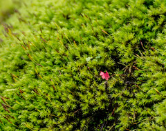 Almost. (Omygodtom) Tags: green red moss scene scenic senery selectivefocus 7dwf classic flower flickr flora nikkor nikon70300mmvrlens dof d7100 contrast wild plant clover 1 bokeh art abstract