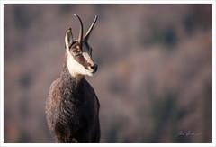 Rupicapra rupicapra (Joce.V) Tags: chamois rupicapra caprinés animal bovidé bovin mammifère faune nature jura canon bokeh canoneos5dmarkii canonef300mmf4isusm