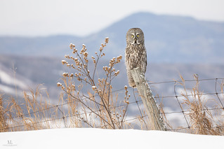 Great gray owl - Chouette lapone - Strix nebulosa