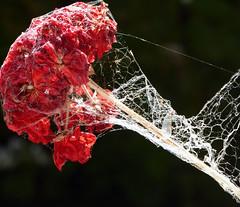 ensnared (graeme37) Tags: cobwebs spiderwebs pelargonium geranium garden redflower