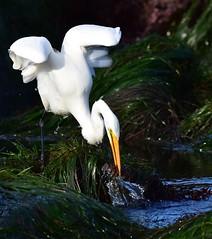 Caught (delphinusorca) Tags: egret greategret pacificgrove montereybay monterey nikon200500f56 california