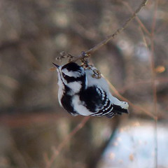 Downy Woodpecker (Dendroica cerulea) Tags: downywoodpecker picoidespubescens picoides dendropicini picinae picidae picides pici piciformes aves woodpecker birds winter highlandparkmeadows highlandpark middlesexcounty nj newjersey