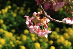 IMG_9721 (vitorkawasaki) Tags: flower 花 tree arvore cerejeira sakura 桜